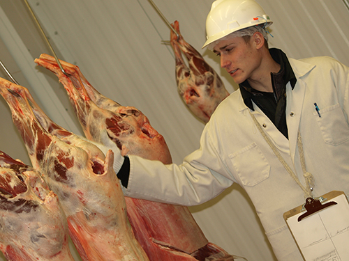 A student from the Meat Judging Team examining hanging meat.